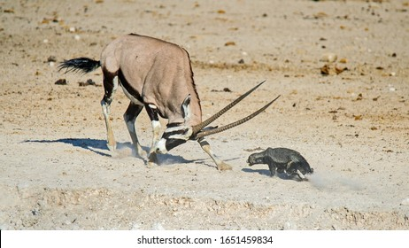 a Honey Badger and an Oryx fight at a waterhole in Etosha National Park, Namibia, where the honey badger gets tossed around like a rag doll.