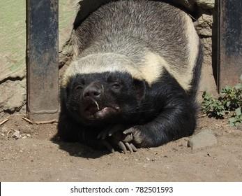 honey badger resting