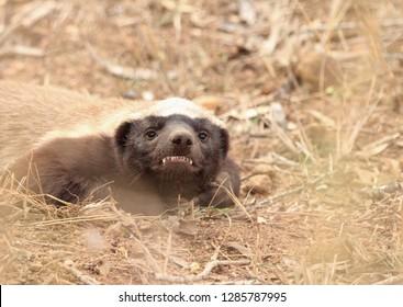 Honey badger smiles
