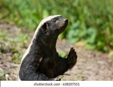Honey Badger Standing