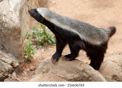 Honey badger standing on a stone