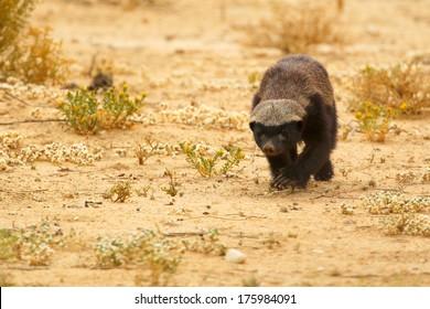 Honey badger walking on sand, Kalahari, South Africa
