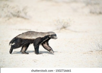 Honey badger walking in the wild