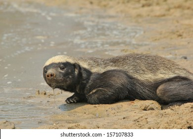 Honey Badger - Wildlife Background from Africa - Super Predator of the night quenching thirst during the day.