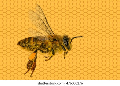Honey bee against honeycomb background