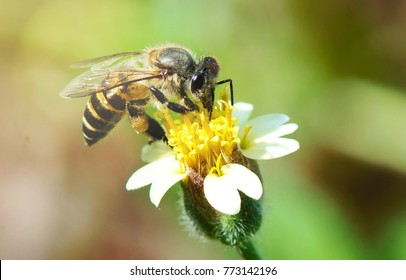 A honey bee (Apis cerana) is finding pollen and sucking nectar from Tridax procumbens.