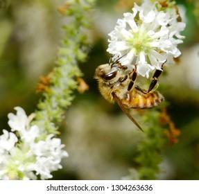 A Honey Bee (Apis mellifera) collecting pollen from white Sweet Almond Verbena (Aloysia virgata) flowers.