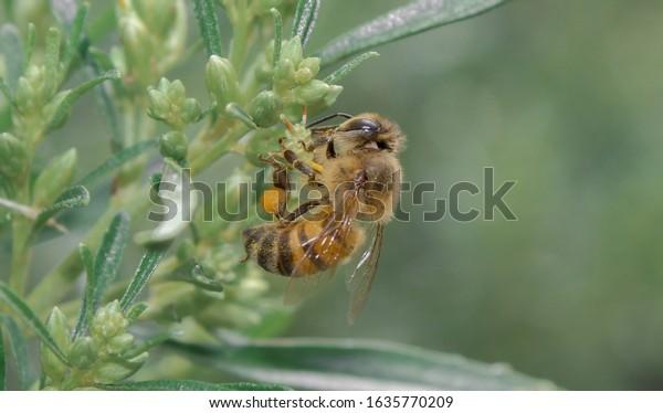 honey-bee-apis-mellifera-collecting-600w