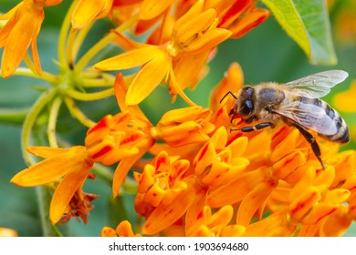 Honey bee (Apis mellifera) gathering nectar and pollen from a Butterfly-weed flower (Asclepias tuberosa.)  Closeup.