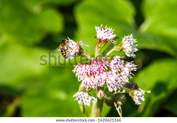 A honey bee apis mellifera with visible pollen baskets visiting the flower of a butterbur Petasites hybridus in winter.  Main focus is bee not flower.