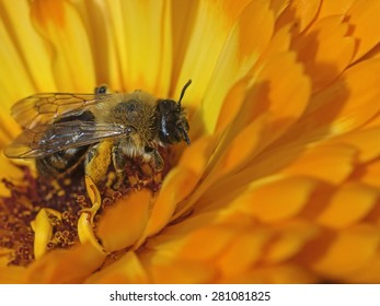 Honey bee (Apis mellifica) on pot marigold, Honigbiene auf Ringelblume
