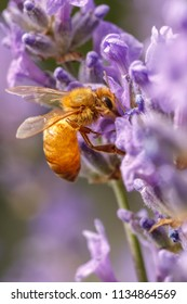 A honey bee, Apis, on a lavendar plant, Lavandula spica.