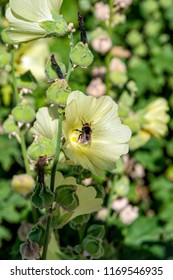 Honey bee collect nectar from the pale yellow flower of blooming Hollyhock (Alcea Rugosa). Common names include Rugose H., Hairy H., Yellow H., Russian Hollyhock.