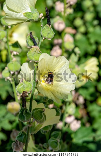 Honey Bee Collect Nectar Pale Yellow Nature Stock Image 1169546935,Plastic Emulsion Paint Price In Delhi