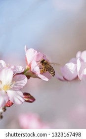 honey bee collecting nectar from apple blossoms. soft blurry tree and sky background pastel color with copy space