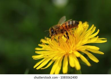 Honey bee collecting nectar on dandelion flower