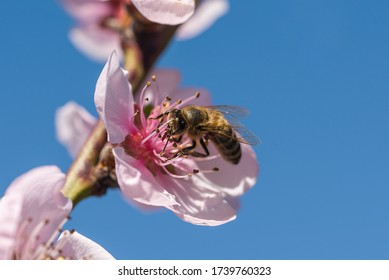 Honey bee collecting nectar on a peach tree flower