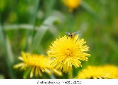 Honey bee collecting nectar on a yellow dandelion. Blurred background