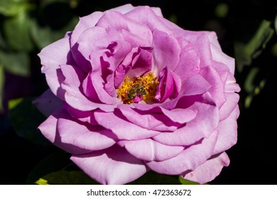 Honey bee collecting nectar from a pink rose