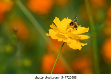 Honey bee collecting nectar and pollen on an Cosmos flower.