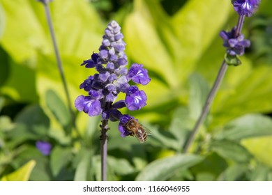 Honey bee collecting nectar in sunny day on violet flower