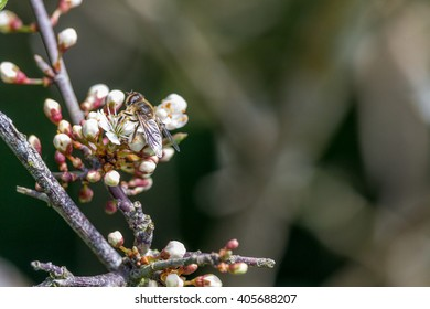 Honey Bee collecting pollen from a Black Hawthorn Blossom