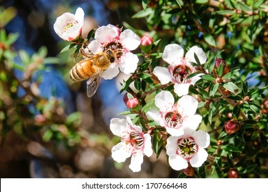 Honey Bee collecting pollen from New Zealand manuka flowers