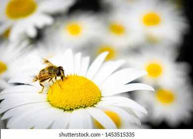 Honey Bee collecting pollen on  a flower
