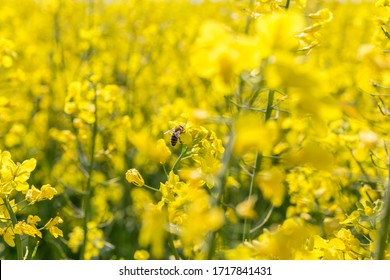 Honey Bee collecting pollen on yellow rape field. Selective focus.
