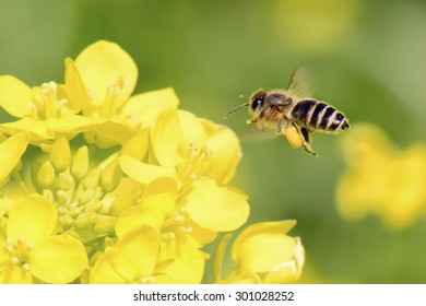 Honey Bee collecting pollen on yellow  flower.