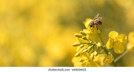 Honey Bee collecting pollen on yellow rape flower