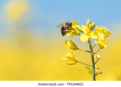 Honey Bee collecting pollen on yellow rape flower against blue sky