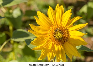 A honey bee collecting pollen from a sunflower (Helianthus annuus).