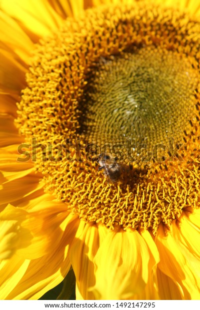 Honey bee collecting pollen from a sunflower
