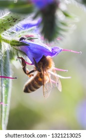 Honey bee collects nectar from Echium vulgare, viper's bugloss, blueweed. Collect pollen in the meadow. Detailed image of the bee collecting pollen.