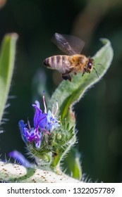 Honey bee collects nectar from Echium vulgare, viper's bugloss, blueweed. Collect pollen in the meadow. Detailed image of the bee collecting pollen.Selective focus.