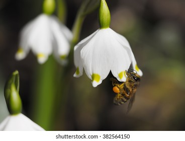 Honey bee collects nectar on a Spring snowflake flower