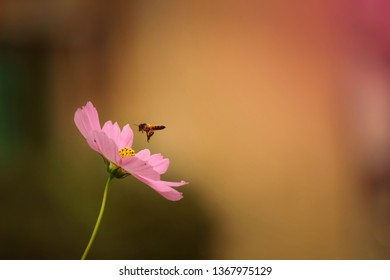 Honey bee and Cosmos flower. Honey bee collected hone.