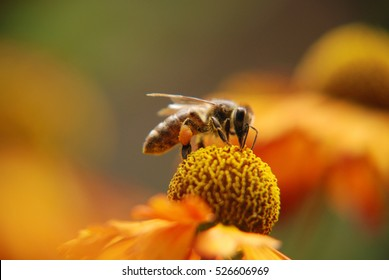 Honey bee covered with yellow pollen, drink nectar from yellow flowers and pollinating them