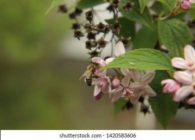 Honey bee at a Deutzia