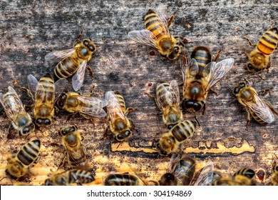 Honey bee drone trying to enter the hive on a landing board