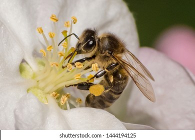 Honey bee, extracting nectar from fruit tree flower, pollination process