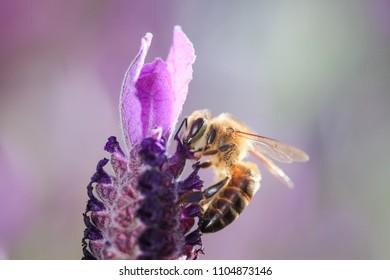 Honey bee feeding on purple flower, close-up
