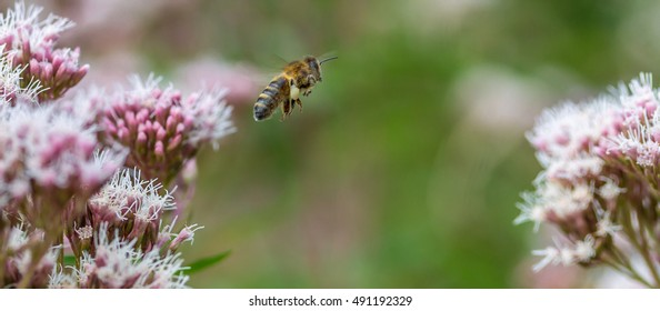 Honey Bee in flight between flowers while gathering nectar.