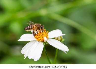 Honey Bee and flower of Bidens pilosa, also known as  black-jack, beggarticks, cobbler's pegs and Spanish needlein, belongs to the daisy family Asteraceae