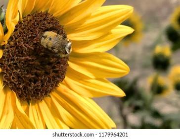 Honey bee foraging on prairie sunflower