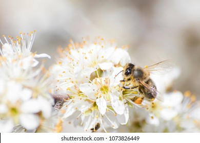 Honey bee full of pollen on a white flower in nature composition