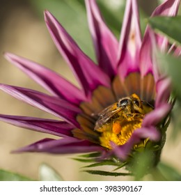 A honey bee gathering nectar from a Gazania flower