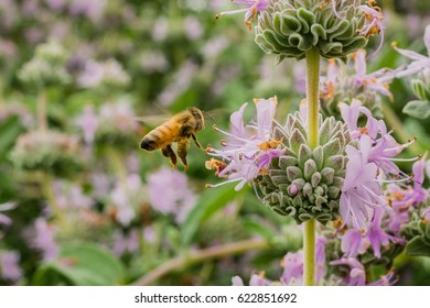 Honey bee gathering nectar from Purple sage (Salvia leucophylla) flowers in spring, California