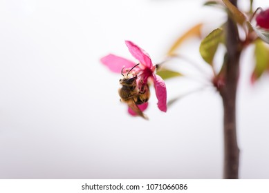 Honey bee gathering pollen from a blossom during spring time.
